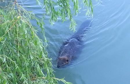 Beaver web